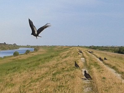Vultures and Buzzards